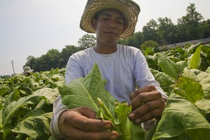 Farm Workers Trim Tobacco Plants