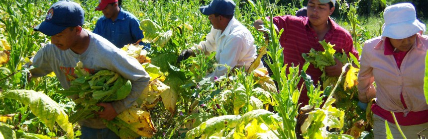 tobacco field workers NC